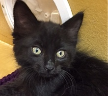 [picture of Cubby, a Ragdoll Mix black\ cat]