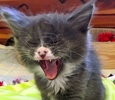 [picture of Fressio, a Ragdoll Mix blue/white cat]