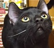 A picture of #ET01812: Bingo a Domestic Short Hair black