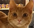 A picture of #ET01813: Money a Domestic Short Hair orangle tabby