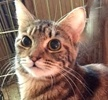 A picture of #ET01814: Tawnie a Domestic Short Hair swirl tabby