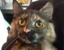 A picture of #ET01815: Minnie a Domestic Long Hair tortie