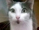 A picture of #ET01816: Little Biscuit a Domestic Short Hair blue/white