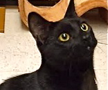 [picture of Salem, a Bombay Mix black\ cat]