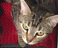 A picture of #ET01819: Bonetti a Domestic Short Hair swirl tabby