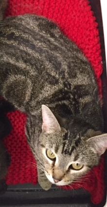 [another picture of Bonetti, a Domestic Short Hair swirl tabby\ cat]