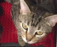 [picture of Bonetti, a Domestic Short Hair swirl tabby\ cat]