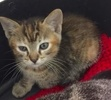 A picture of #ET01820: Brownie a Domestic Short Hair swirl tabby