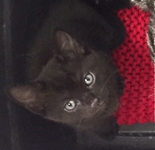 [another picture of Nestle, a Domestic Short Hair black\ cat]