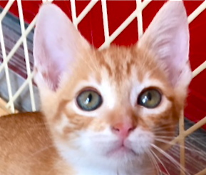 [picture of Queso, a Domestic Short Hair orange\ cat]