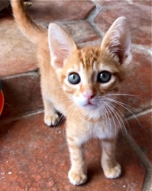 [another picture of Nacho, a Domestic Short Hair orange\ cat]