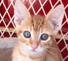 [picture of Nacho, a Domestic Short Hair orange\ cat]
