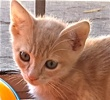 A picture of #ET01826: Cheese Puff a Domestic Short Hair buff
