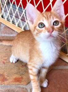 [another picture of Dorita, a Domestic Short Hair orange/white\ cat]