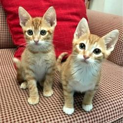[picture of Dorita, a Domestic Short Hair orange/white cat]