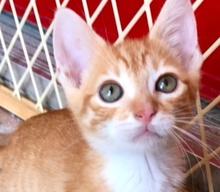 [picture of Dorita, a Domestic Short Hair orange/white\ cat]