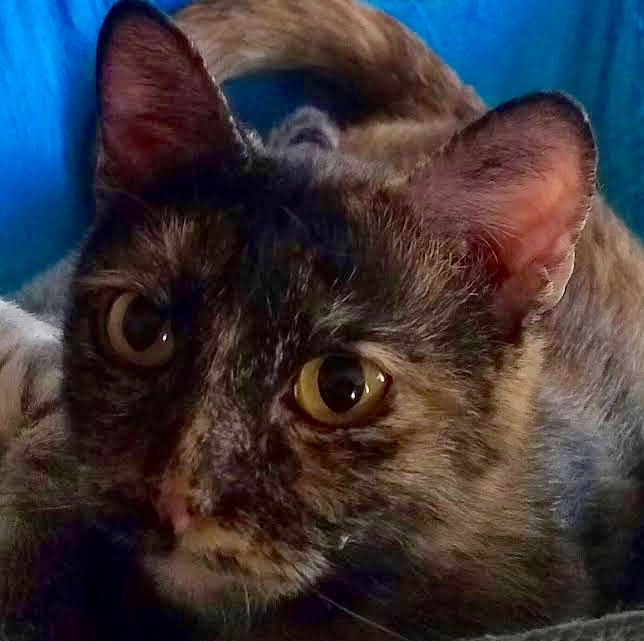 [picture of Zohara, a Domestic Short Hair tortie\ cat]