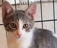 A picture of #ET01829: Zephyr a Domestic Short Hair silver/white