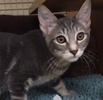 A picture of #ET01830: Zipp a Domestic Short Hair blue solid tabby