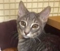A picture of #ET01831: Zack a Domestic Short Hair blue stripe tabby
