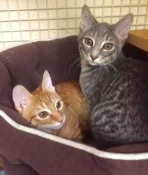 [picture of Ziggy, a Domestic Short Hair orange cat]