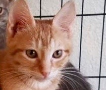 [picture of Ziggy, a Domestic Short Hair orange\ cat]