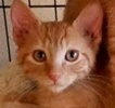 A picture of #ET01833: Zain a Domestic Short Hair orange