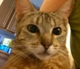 A picture of #ET01834: Deblu a Domestic Short Hair swirl tabby