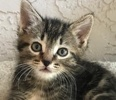A picture of #ET01835: Norm a Domestic Short Hair black marble tabby