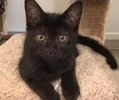 A picture of #ET01837: Nebula a Domestic Short Hair black