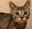 A picture of #ET01839: Pandora a Domestic Short Hair brown tabby