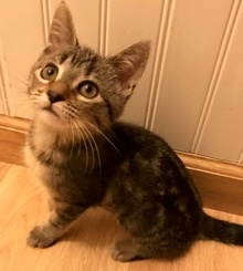 [another picture of Pennelope, a Domestic Short Hair back marble tabby\ cat]