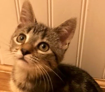 [picture of Pennelope, a Domestic Short Hair back marble tabby\ cat]