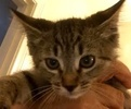 A picture of #ET01841: Gus a Domestic Short Hair tiger tabby