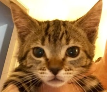 [picture of Sissy, a Domestic Short Hair marble tabby\ cat]