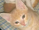 A picture of #ET01844: Bobby a Domestic Short Hair cream tabby