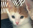 A picture of #ET01845: Sheldon a Domestic Short Hair orange/white