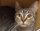A picture of #ET01847: Daysie a Domestic Short Hair gray tabby