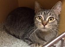 [another picture of Daysie, a Domestic Short Hair gray tabby\ cat]