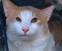 A picture of #ET01848: Ging a Domestic Short Hair orange/white