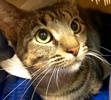 A picture of #ET01850: Belinda a Domestic Short Hair tabby/tripod