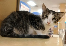 [picture of Yoda, a Oriental Mix brown/black marble tabby/white cat]