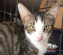 [picture of Yoda, a Oriental Mix brown/black marble tabby/white\ cat]