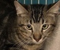 A picture of #ET01852: Skywalker a Oriental Mix black marble tabby