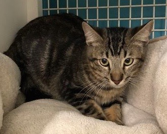 [another picture of Skywalker, a Oriental Mix black marble tabby\ cat]