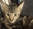 [picture of Skywalker, a Oriental Mix black marble tabby cat]