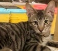 A picture of #ET01853: Jedi a Oriental Mix gray tabby