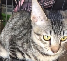 [picture of Jedi, a Oriental Mix gray tabby\ cat]
