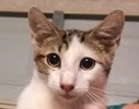 A picture of #ET01854: Chewbacca a Oriental Mix black/brown swirl tabby w/white