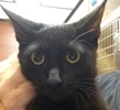 A picture of #ET01855: Vader a Domestic Short Hair black